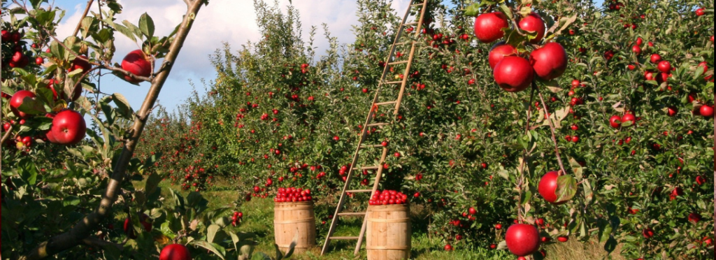 Apple Harvest-You Have Sown You Will Gather in Abundance