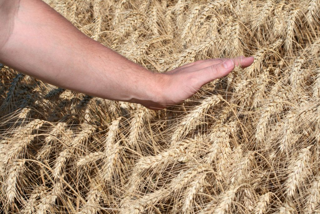 Wheat Harvest-You Have Sown-You Will Reap in Abundance