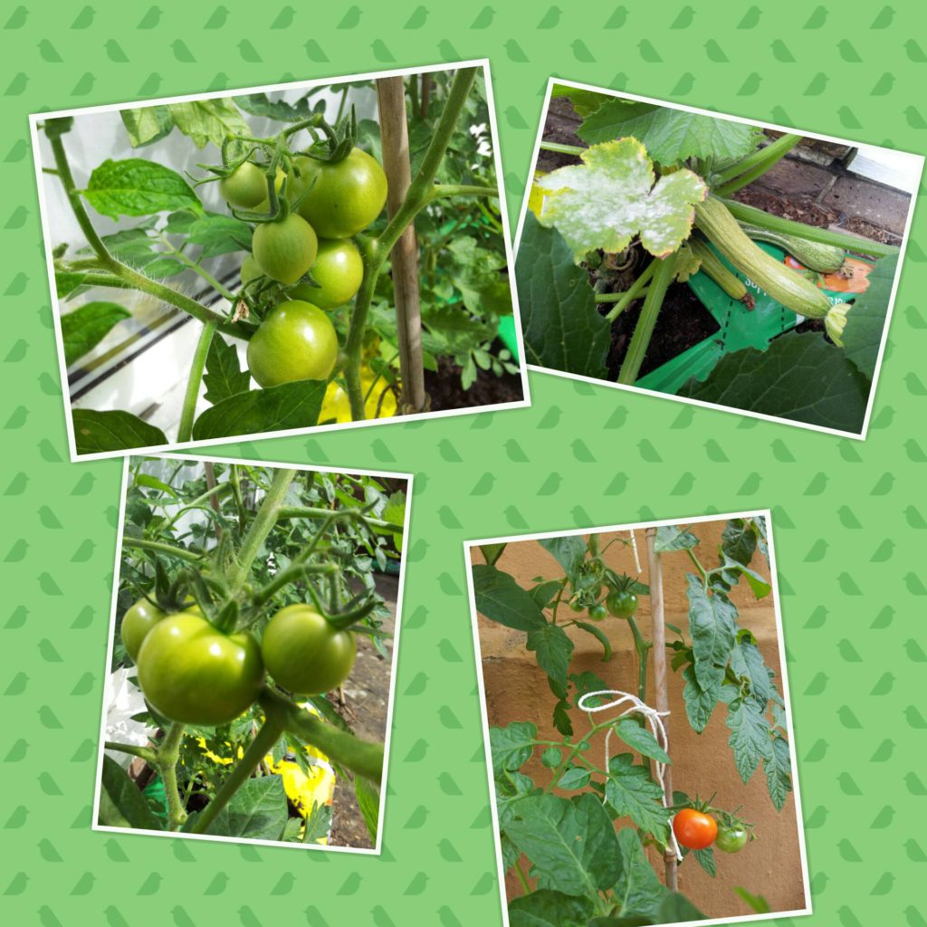 Haly Planted Money Tomatoes Harvest
