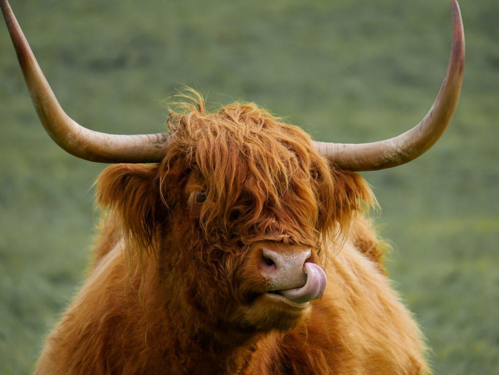 Animal Ox