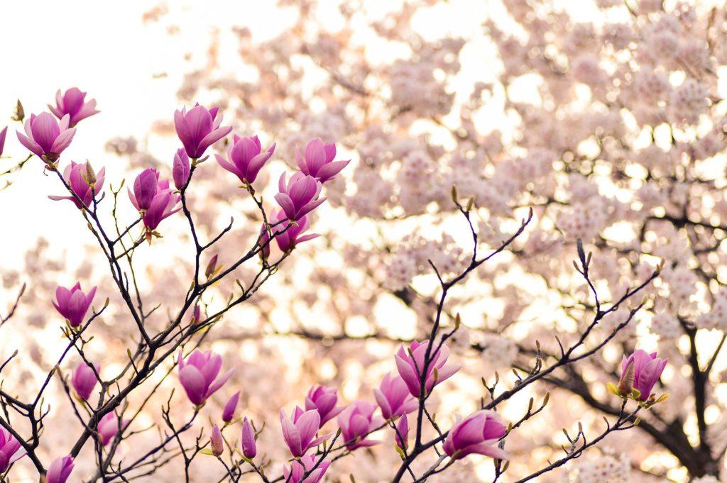 Magnolia Blossoms Spring Time