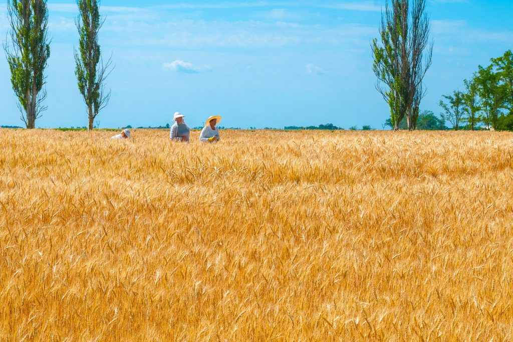 Ukraine Breadbasket - Wheat Field