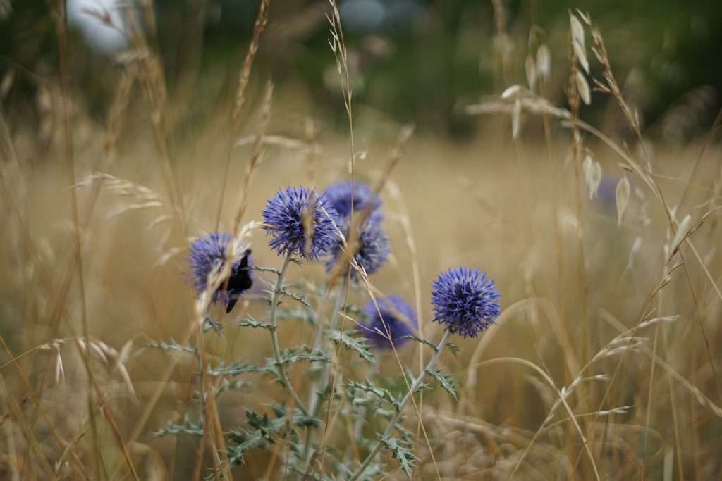 Wheat and Thistle in the Field
