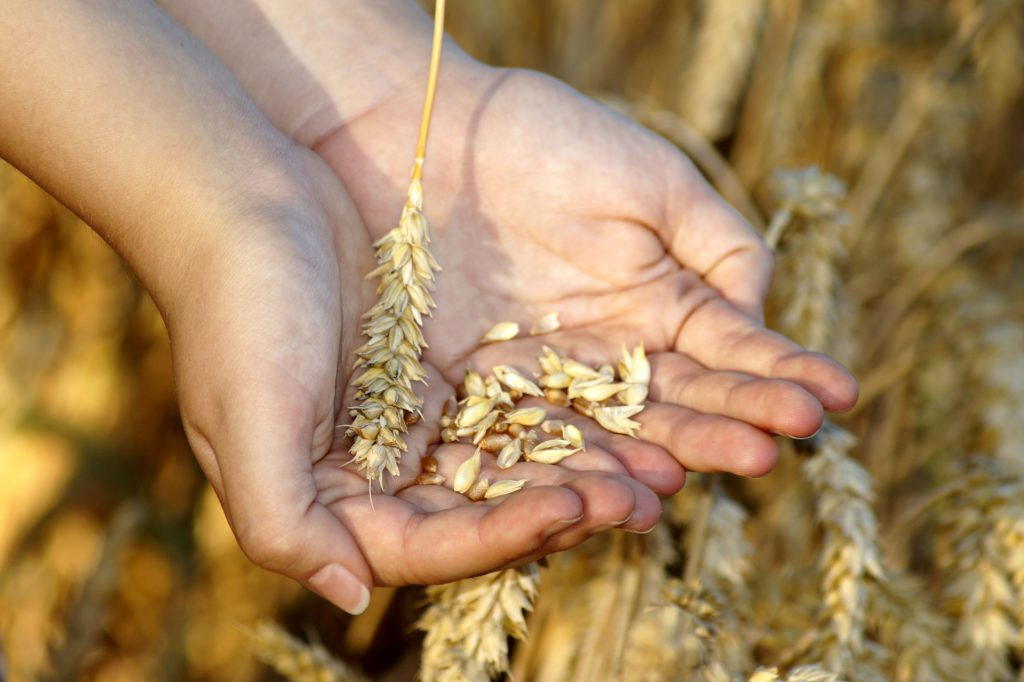Wheat in the Hands - Wheat Harvest